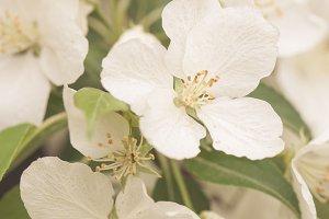 White beautiful blooming apple tree