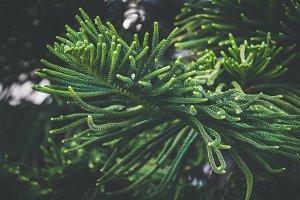 Leaves of Norfolk pine tree V