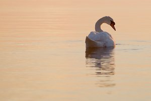 White swan at sunset