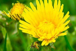 Flowering dandelion closeup