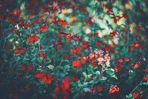 Flowers of Eyelash-Leaved Sage II