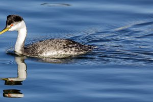 Western Grebe adult wading