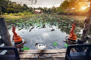 Duck and pond with lotus in Thailand
