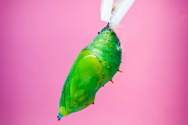 Animal Stock Photos: Beautiful things - A green pupa of the tropical