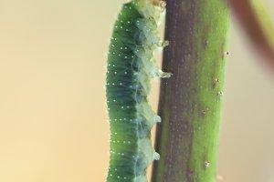The climber worm