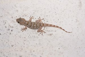 Common gecko on white wall