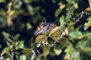 Above bush cicada