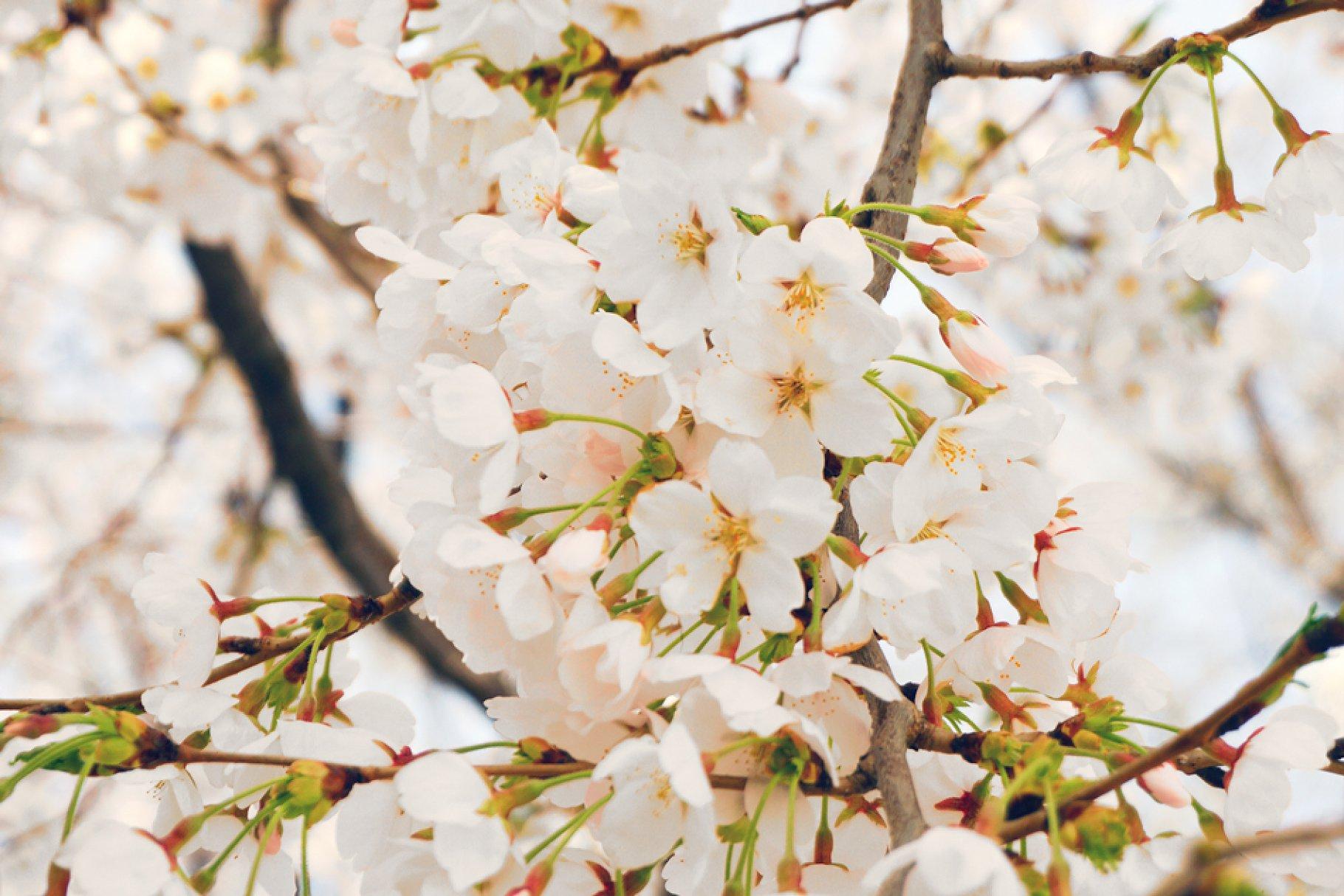 White Cherry Blossoms High Quality Nature Stock Photos