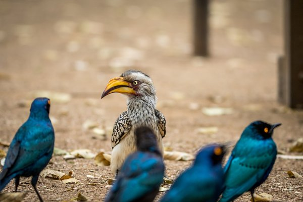 Animal Stock Photos - Yellow-billed hornbill and Starlings