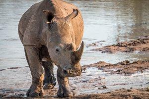 White rhino standing in the mud