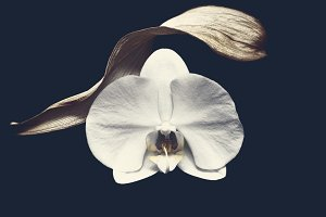 White pretty orchid on black backgro