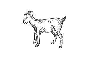 Goat farm animal sketch engraving
