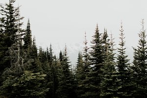 Pacific Northwest Pine Trees