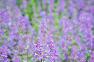 Purple little flowers in the garden