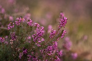 Erica plant in the forest in the ear