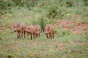 Warthog piglets running in the grass