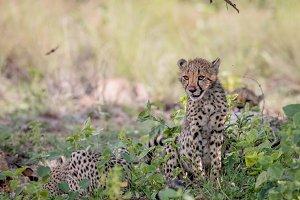 Cheetah cub sitting in the grass