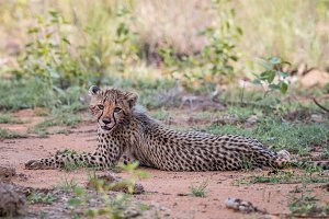 Cheetah cub laying on the ground