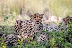 Cheetah cubs and mother eating