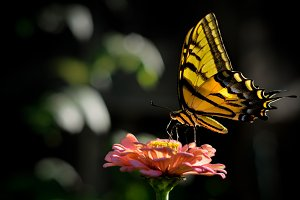 Yellow Butterfly on Zinia Flower