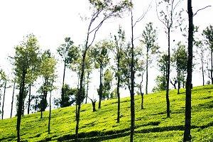 Tea Fields 2