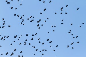 ravens fly swiftly across the sky