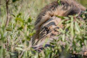 Male Lion feeding on a Waterbuck