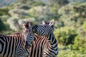 Two Zebras bonding
