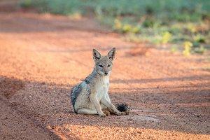Black-backed jackal sitting