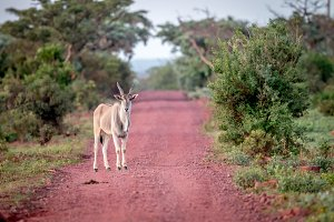 Eland standing on the road