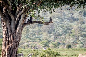 Chacma baboons sitting in a tree