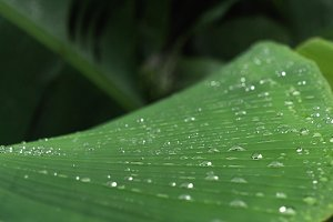green banana tree leaf with dew drop