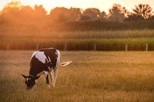 Cow on field...