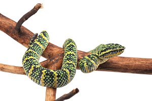 Tree pit viper isolated