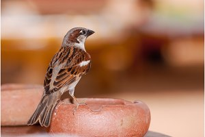 Little Sparrow sits on a clay