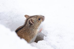 mouse snow winter