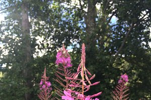 Pink flowers in the montains