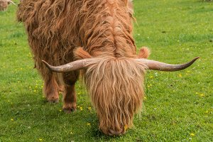Highland cows, Scotland