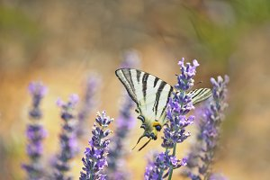 Timid butterfly
