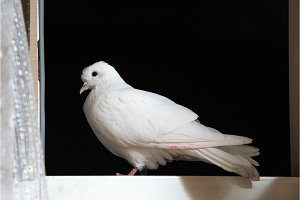 white dove sits on a white window on