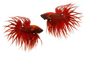 red betta fish isolated on white