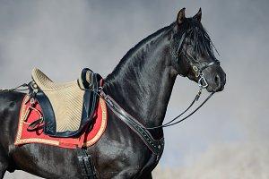 Spanish horse with portugal saddle