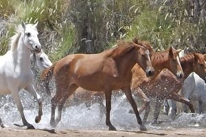 Wild Horses Running in Water