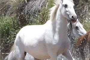 Wild White Horse Running in Water