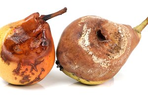 two rotten pears isolated on a white
