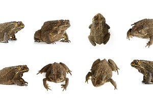 Group of toad(Bufonidae). Amphibian.