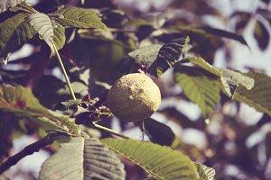 Horse-chestnuts.Aesculus hippocasta.
