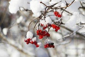 Viburnum under snow