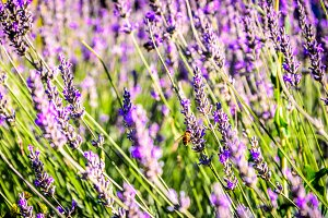 Honey beer on lavander flowers