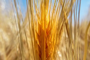Close up of a ear of wheat